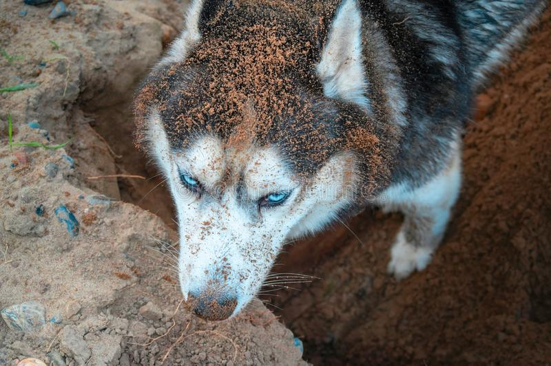 Husky digging ground. Dirty muzzle husky dog rummaging in the sand. View from above. Siberian husky digs a hole. Top view. stock photos