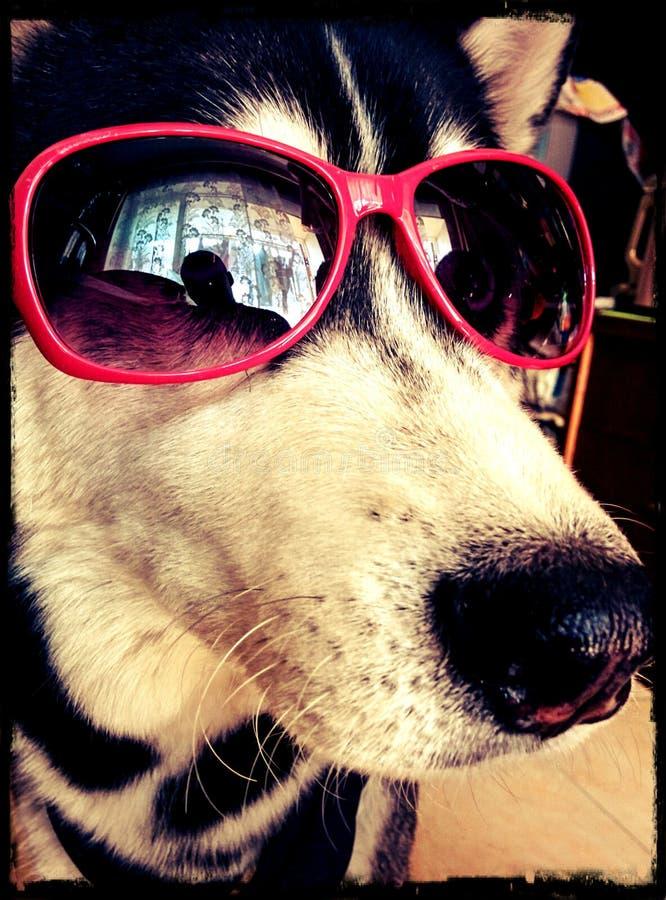 Husky divertente immagine stock libera da diritti