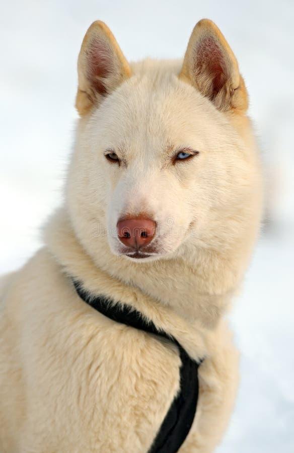Husky Dog imagen de archivo