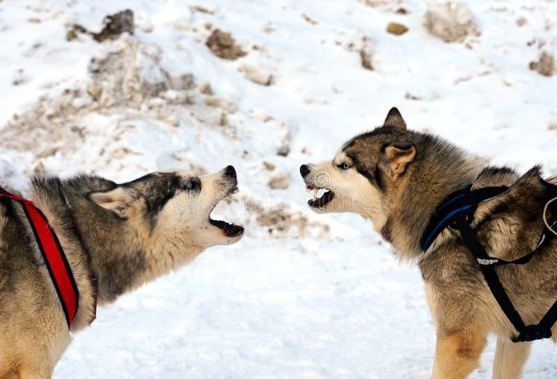Husky Dog imagen de archivo libre de regalías
