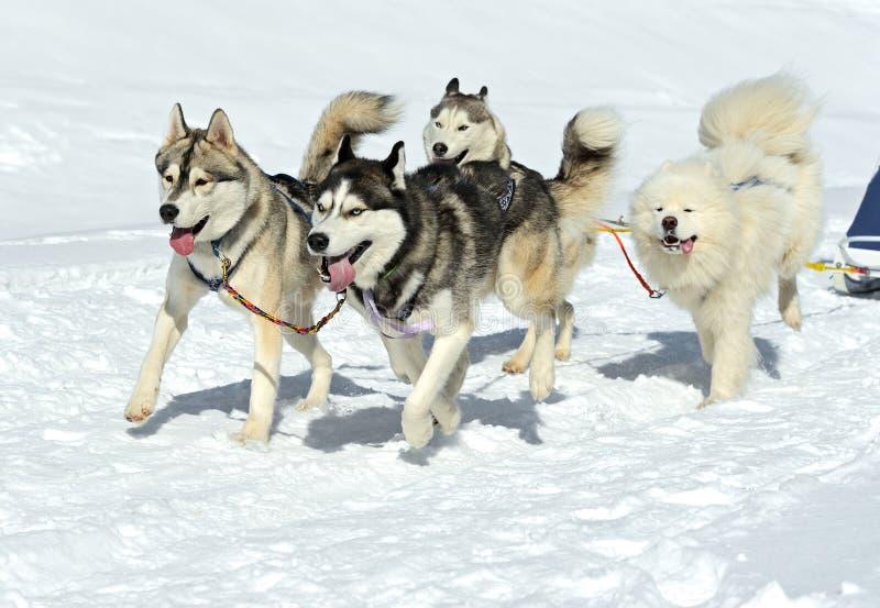 Husky Dog fotos de archivo libres de regalías