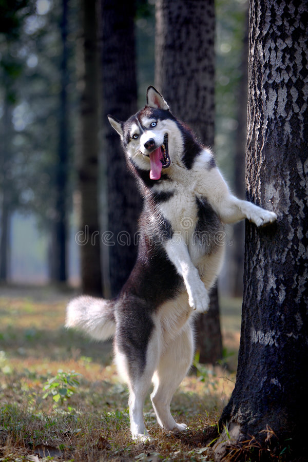 Download Husky dog stock photo. Image of forest, beast, effective - 4457412