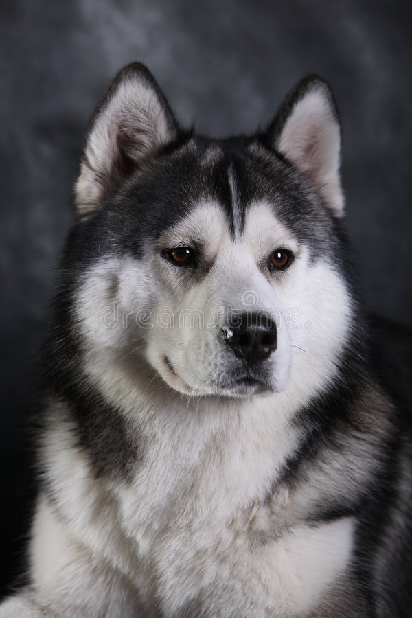 Free Husky Dog Royalty Free Stock Photography - 4682887