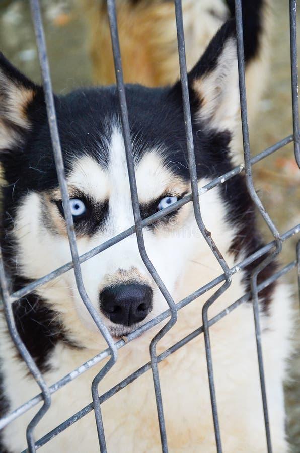 Download Husky dog stock image. Image of camera, home, dignity - 83717883