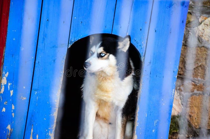 Download Husky dog stock photo. Image of animal, domestic, home - 83718496