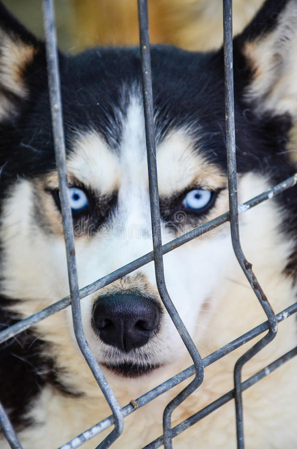 Download Husky Dog Stock Photo - Image: 83719935