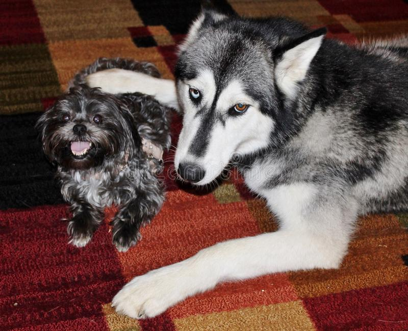 Husky Dog Being Protective Over Little Morkie Dog Stock Photo