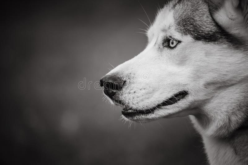 A husky dog in black and white on a blurred artistic background. A portrait of a husky dog in black and white on a blurred artistic background stock images