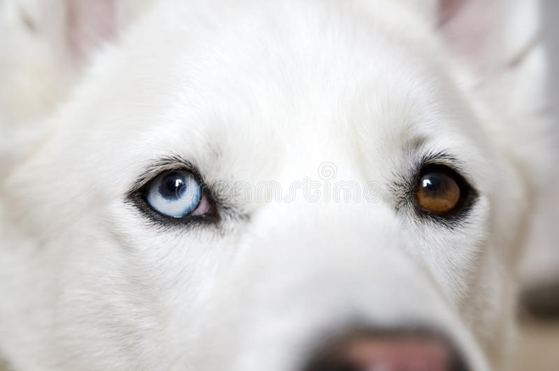 Husky Dog Close Up aux yeux de Bi photo libre de droits
