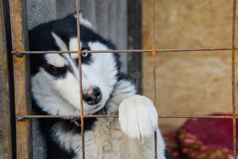 Husky dog con differenti occhi husky in bianco e nero brown e occhi azzurri fotografia stock - Husky con occhi diversi ...