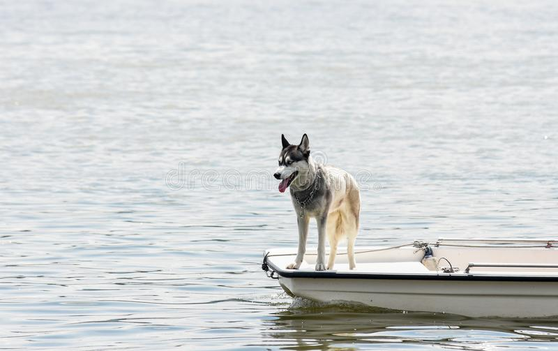THE DOG ON THE LITTLE BOAT. The husky dog enjoy on the top of the little boat royalty free stock photography