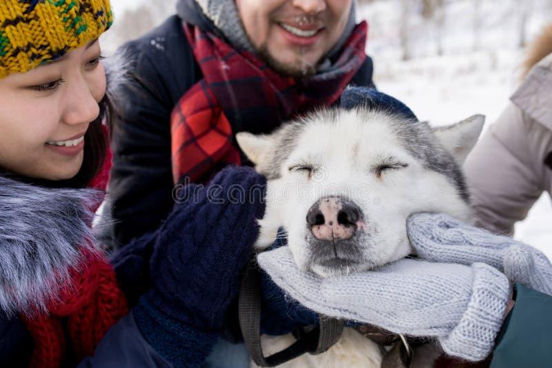 Husky Dog Enjoying Rubs imagens de stock royalty free
