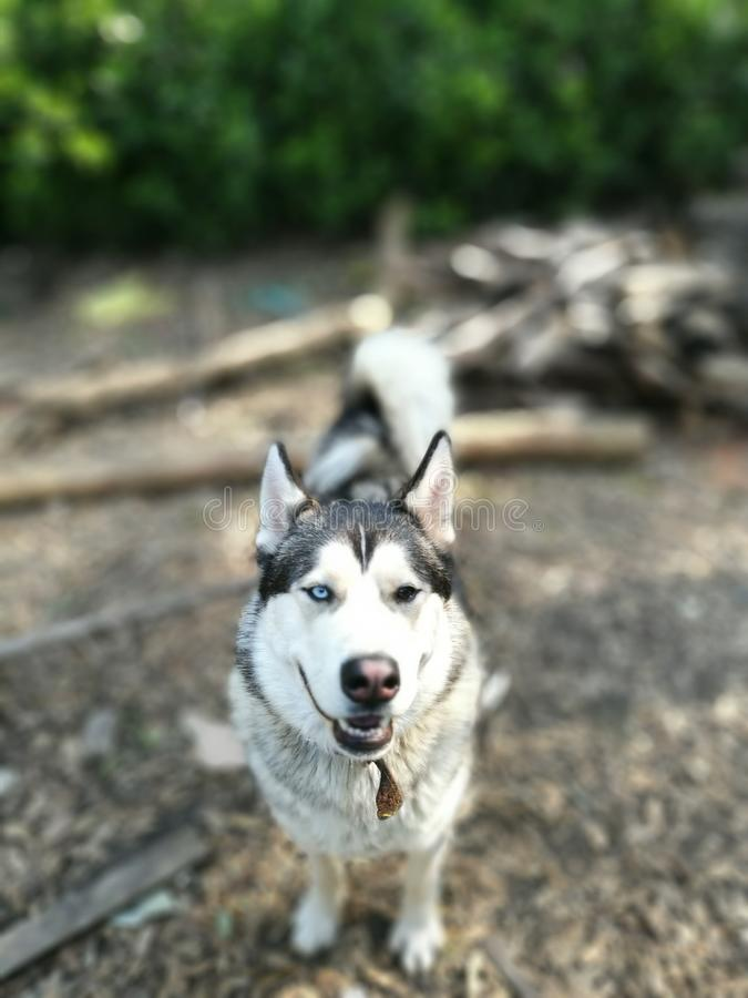 Husky dog forest walk. Husky dog im a forest walk royalty free stock images