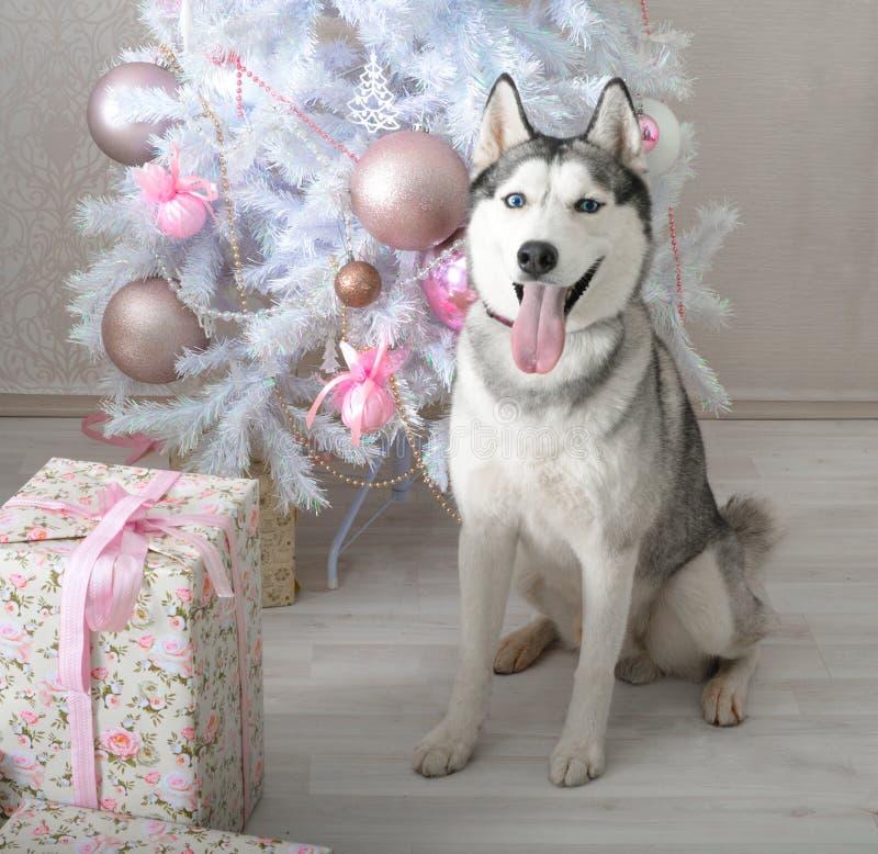 Image result for Husky dog many gift