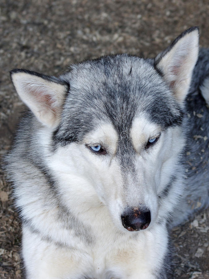 Free Husky Dog Is Resting In His Cage Royalty Free Stock Photos - 20657238