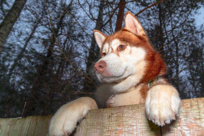 Husky Dog kijkt over een achtertuin hek Heug peerten over houten omheining Paws husky dog over hek, onderaanzicht Night-portret royalty-vrije stock fotografie