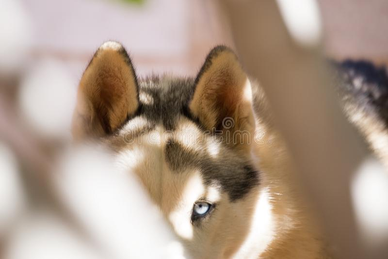 Husky Dog. Looking through a branches of a tree in a sneaky hunting position camouflaging itself royalty free stock photo