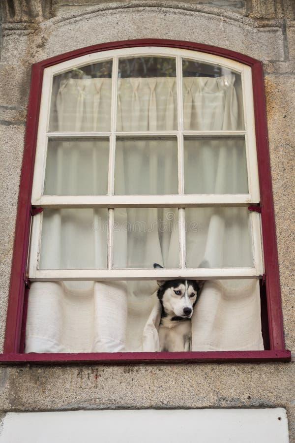 Husky Dog Looking i gatan som sitter på det öppnade husfönstret arkivbilder