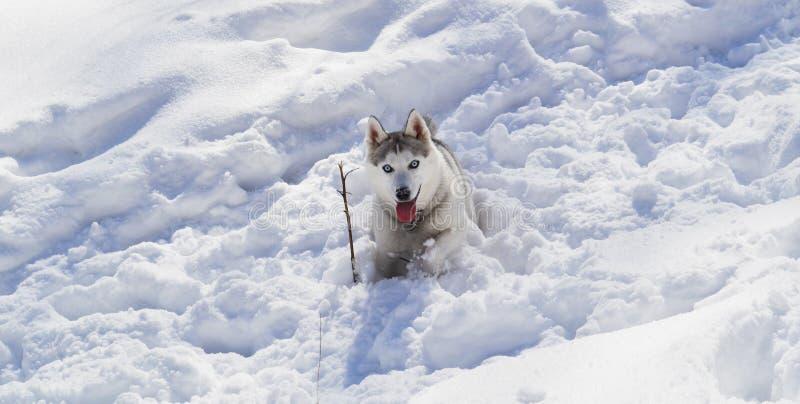 Husky Dog Lying i vit snö royaltyfri bild