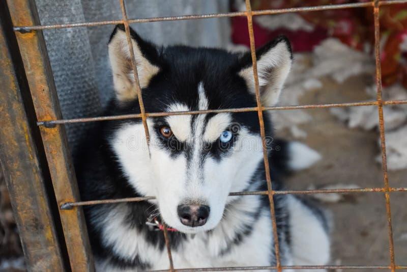 Husky Dog mit verschiedenen Augen Schwarzweiss-Schlittenhund Brown und blaue Augen stockbilder