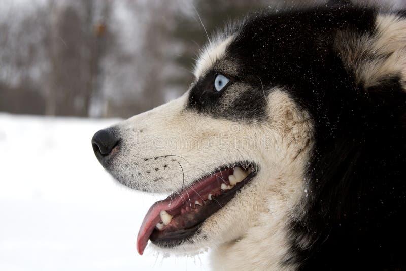 Download Husky dog muzzle stock photo. Image of city, look, close - 7692846