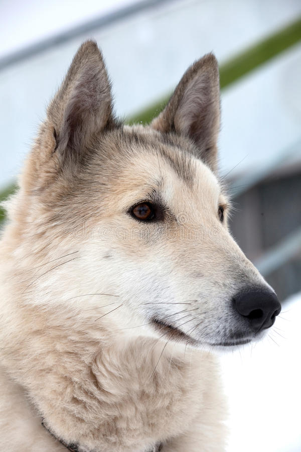 Download Husky dog portrait stock photo. Image of wolf, nose, view - 13423346