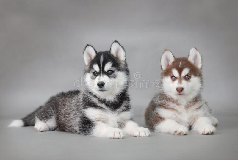 Husky dog puppies royalty free stock image