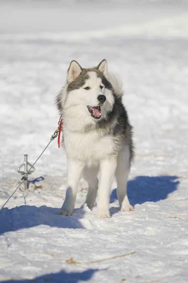 Husky dog resting outside on snow