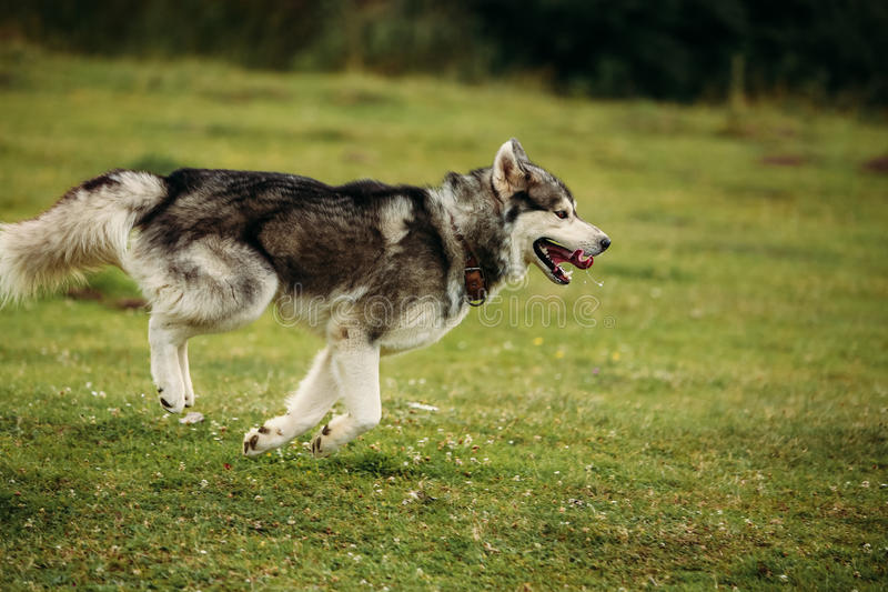 Husky dog running outdoors. Entertainment. River. Young dog sitting on the grass outside. royalty free stock photography