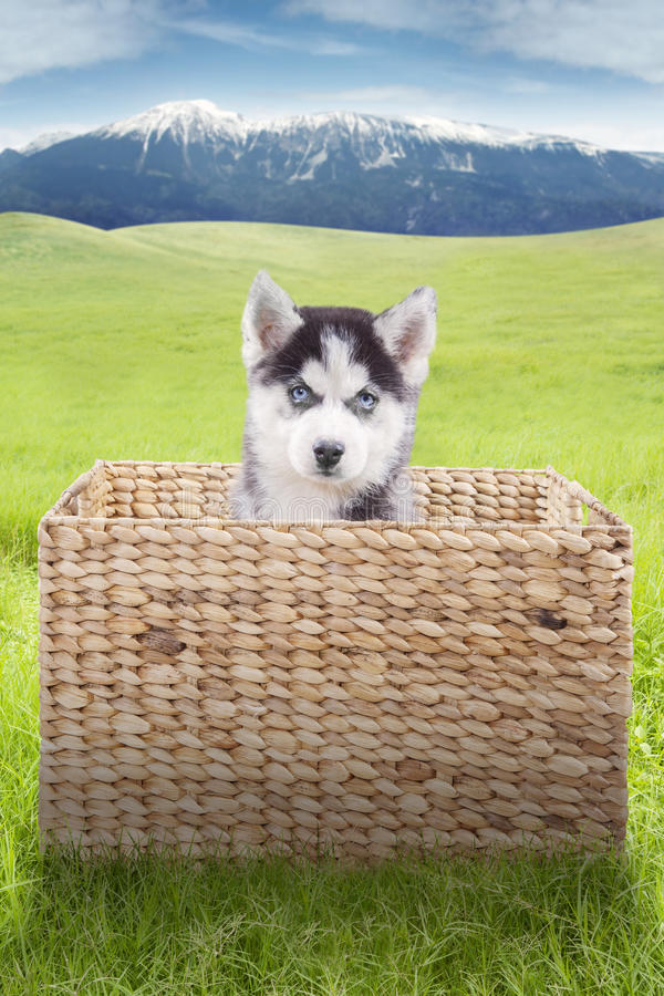 Husky dog sits inside the box at field stock image