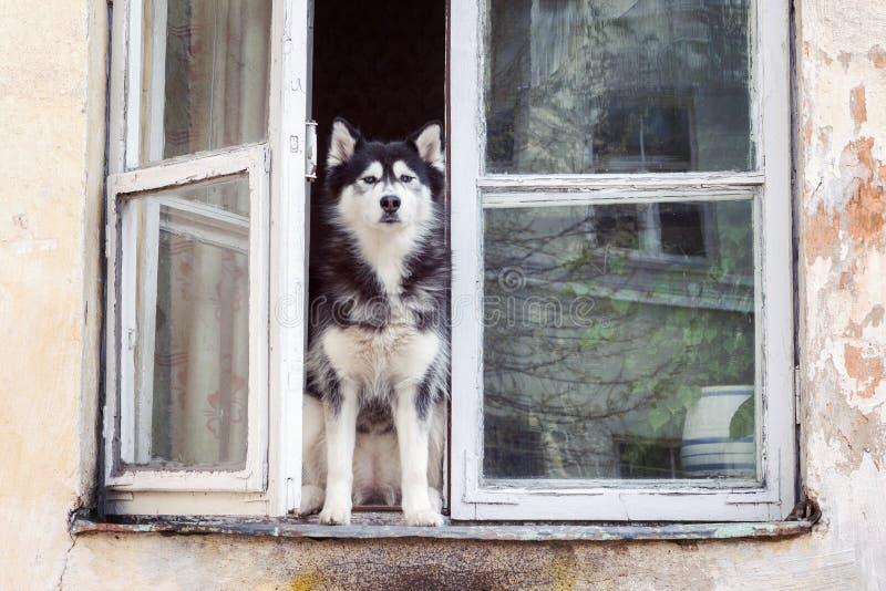 Husky dog sitting at opened window stock image