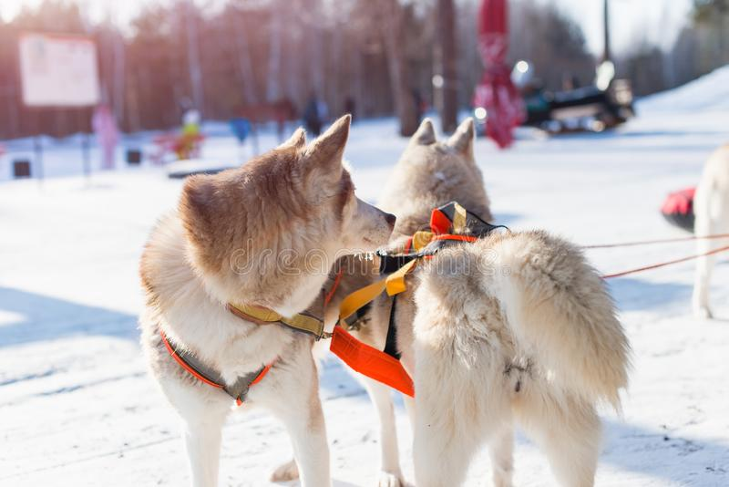 Husky in a dog sled. Two husky in a dog sled royalty free stock images