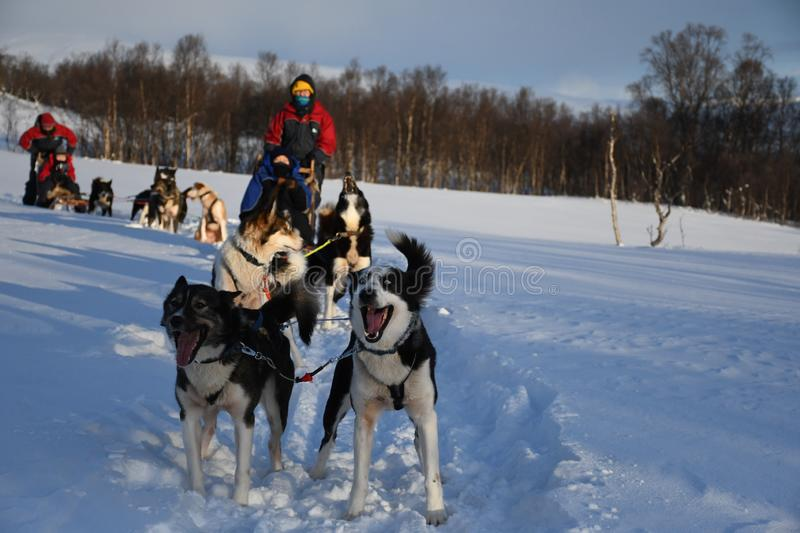 Husky Dog Sledding. Brilliant husky dog sledding in the winter with Arctic Adventure in Tromso, Norway. Absolutely amazing experience or winter sport and must do stock photo