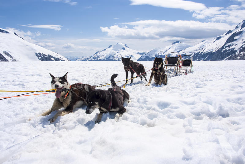 Husky Dog Sledding - Ruhezeit stockfotos