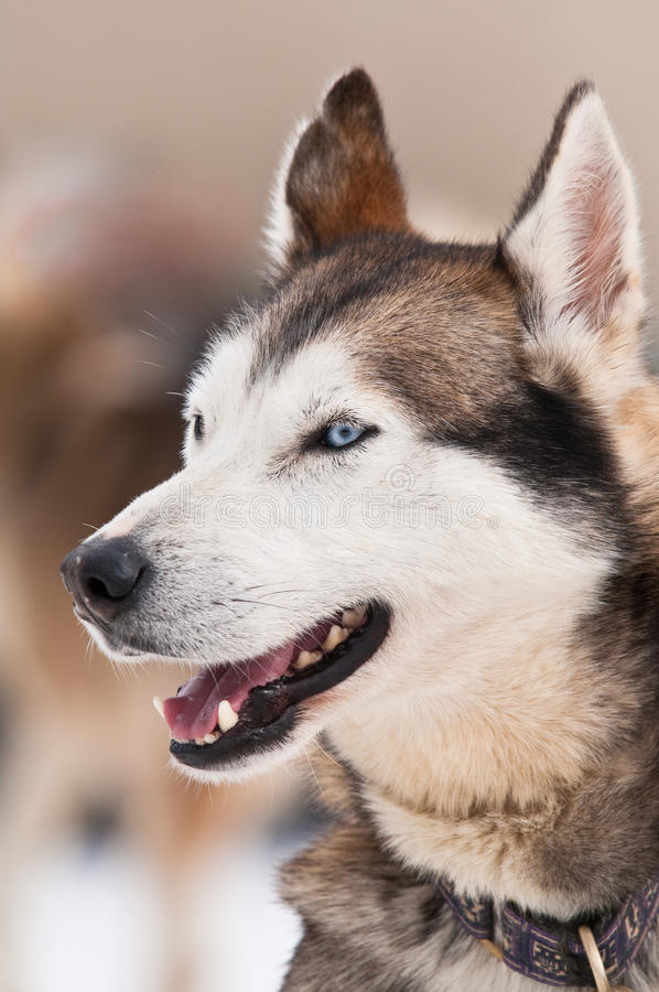Husky dog smile royalty free stock image