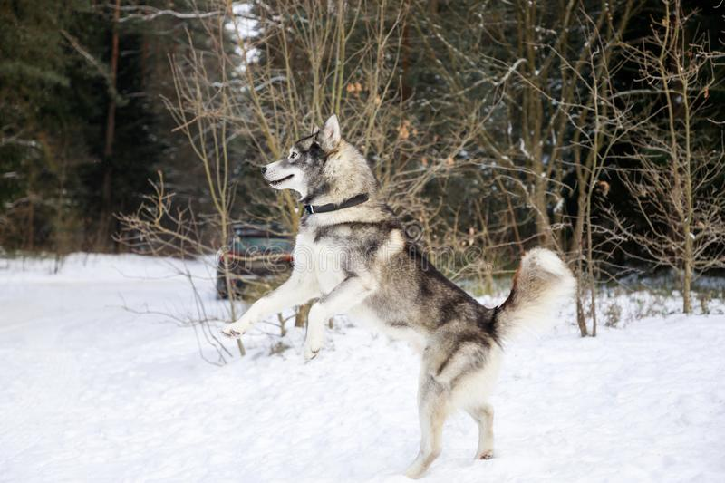 Husky dog is standing on its hind legs stock photography