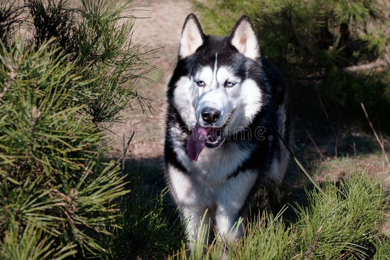 Husky dog is standing and showing tongue. Coniferous park forest, hunter, one hungry wild  wolf royalty free stock images