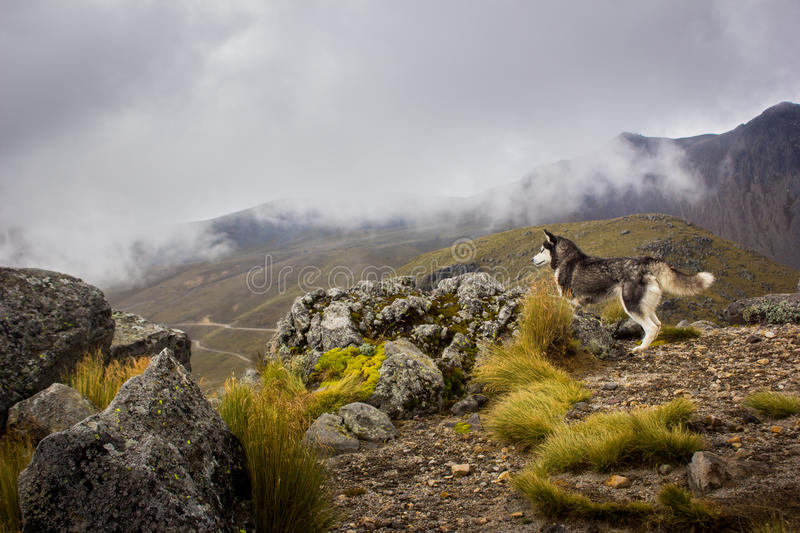 Husky dog watching the landscape in the mountain stock images