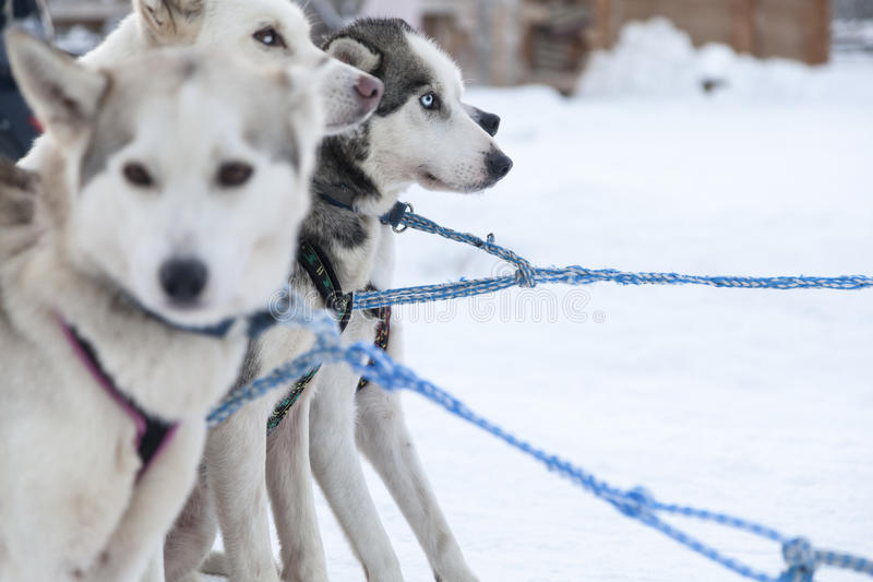 Husky dogs in Lapland. Finland royalty free stock image