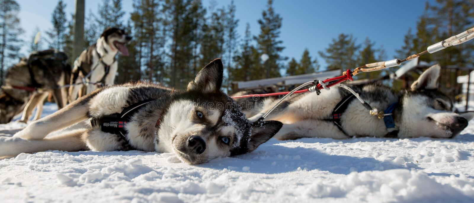 Husky Dogs. Husky in Lapland Finland on Frozen Lake royalty free stock photography
