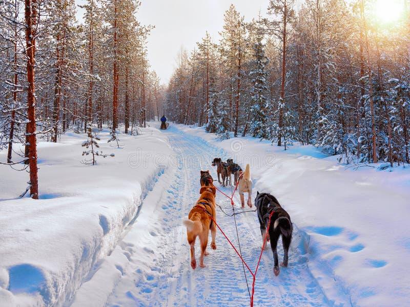 Husky Dogs på släden i Rovaniemi i Finland arkivfoto