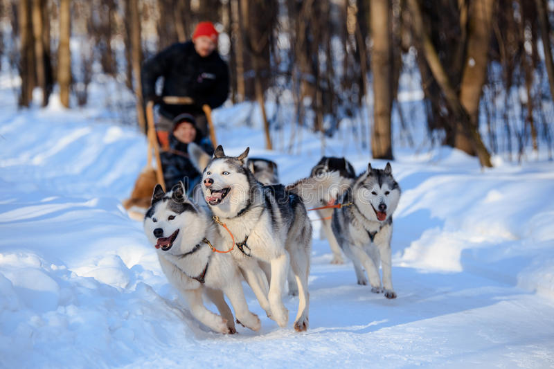 Husky dogs are pulling sledge at winter forest in Russia royalty free stock images