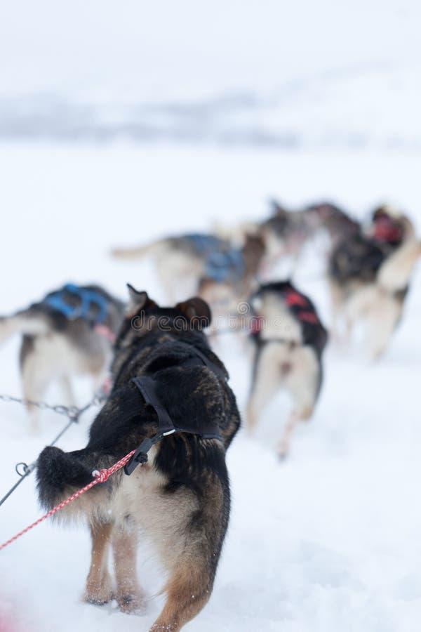 Husky dogs racing. High resolution image of Husky dog sledding in Sweden stock photos