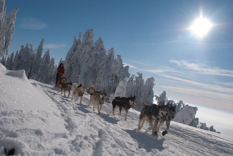 Husky dogsled on trail Sedivacek's long stock photos