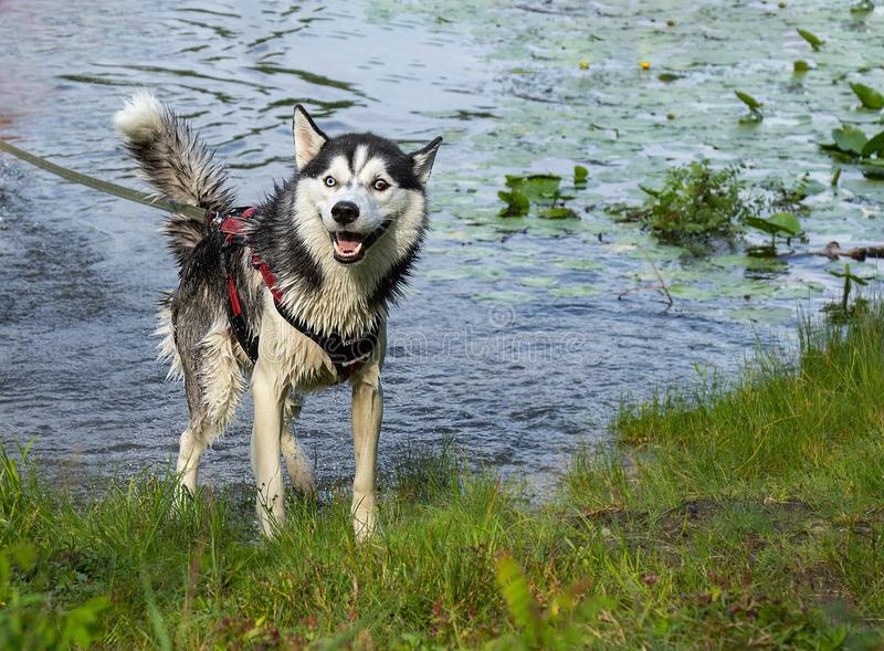 Husky emotions after swimming, wet husky on the beach in motion, jumping in splashes  the background of water royalty free stock photo