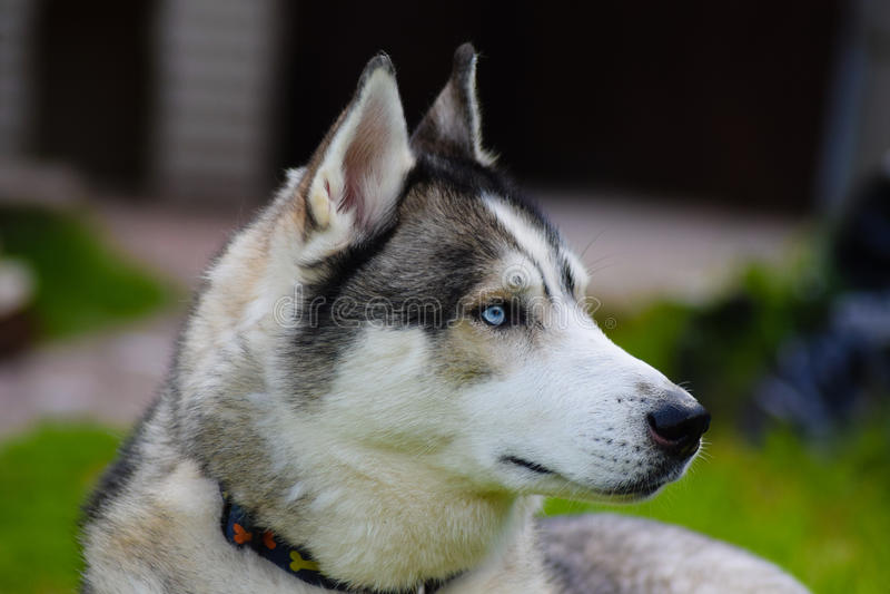Husky Focused fotografie stock libere da diritti