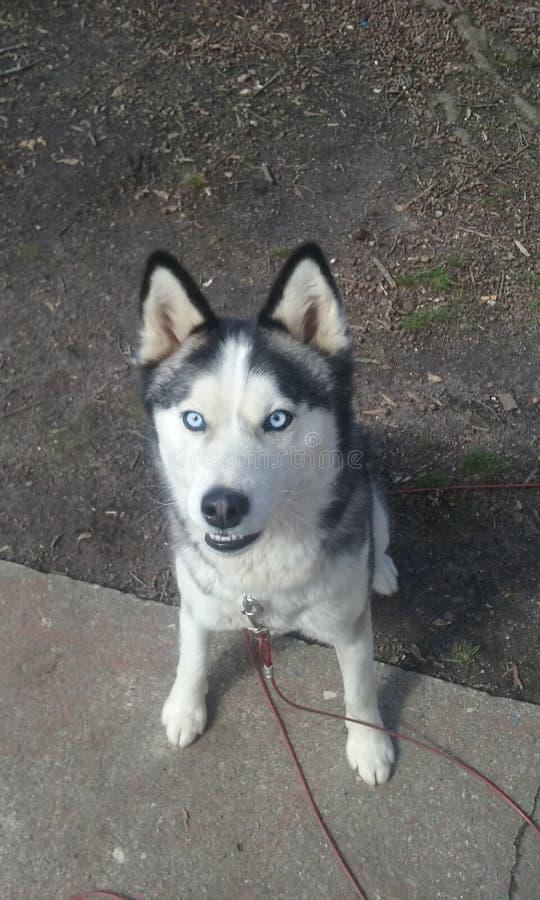 husky fotografia stock libera da diritti