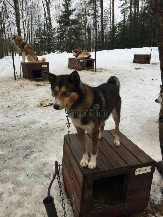 Husky jest najlepszy psami na świacie fotografia royalty free