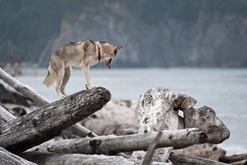 Husky jumping over logs royalty free stock photos