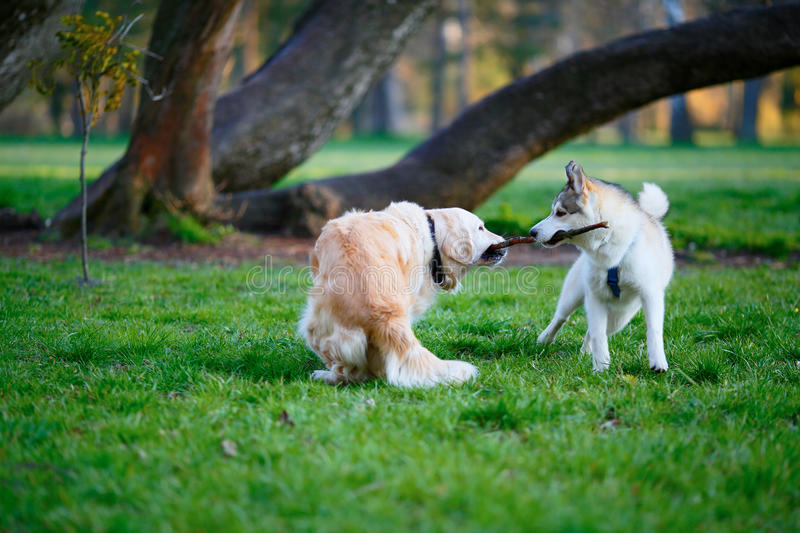 Husky and Labrador dogs fighting over a wooden stick in a summer. Park. Sunny day royalty free stock photography